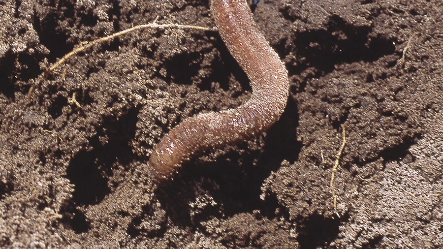Worm in soil
