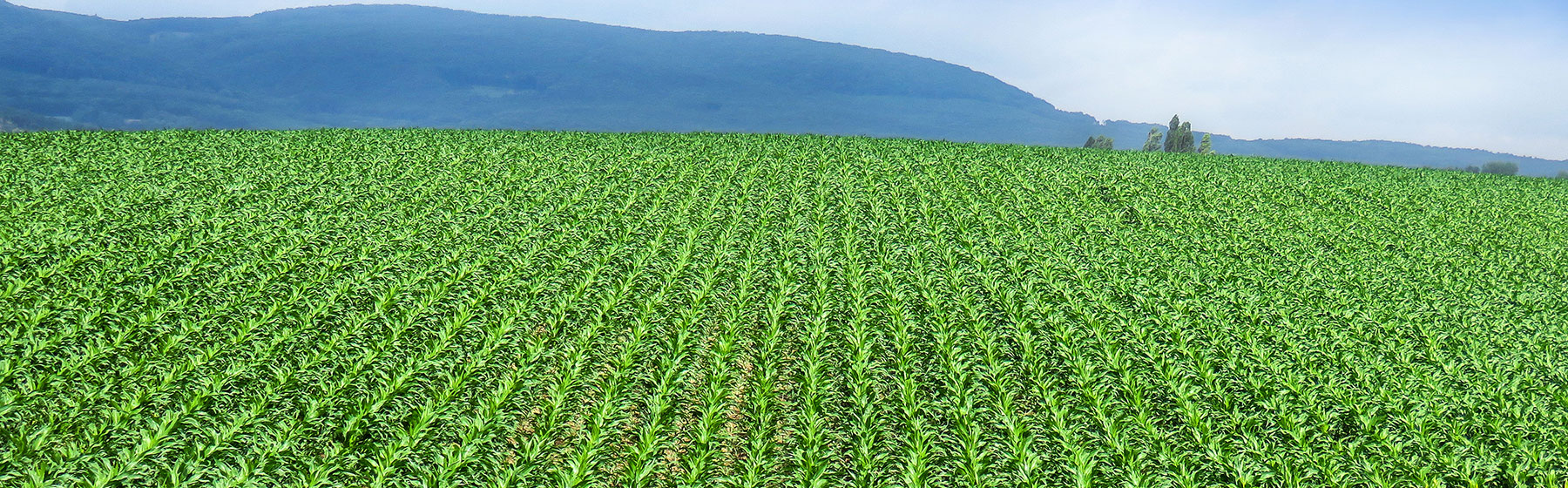 Tempo planted maize field